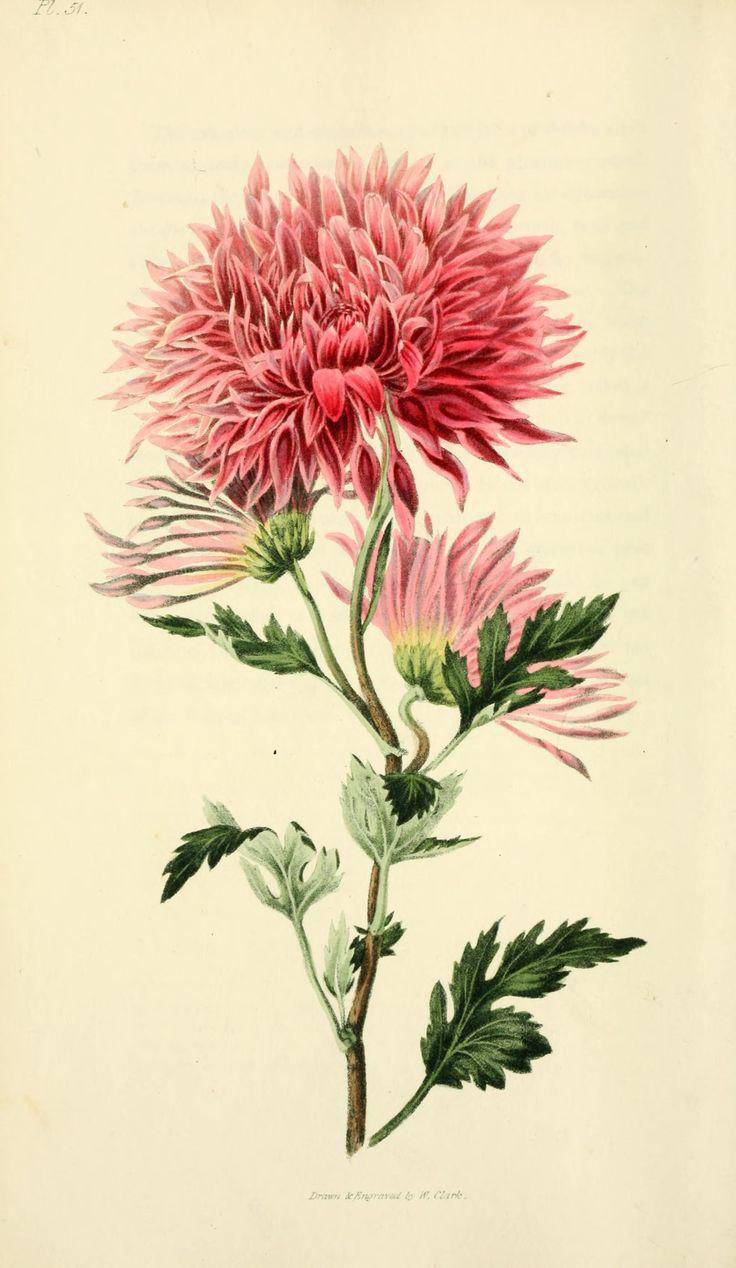 Illustration-of-Chrysanthemum