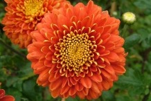 Chrysanthemum-Orange