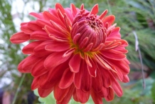 Chrysanthemum-Red