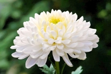 Chrysanthemum-White