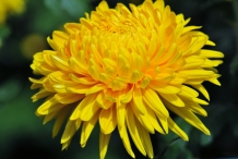 Chrysanthemum-Yellow