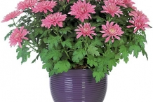 Chrysanthemum-plant
