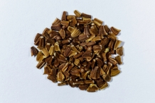 Chrysanthemum-seeds