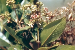Cinchona-plant