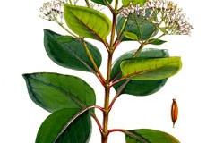 Plant-illustration-of-Cinchona