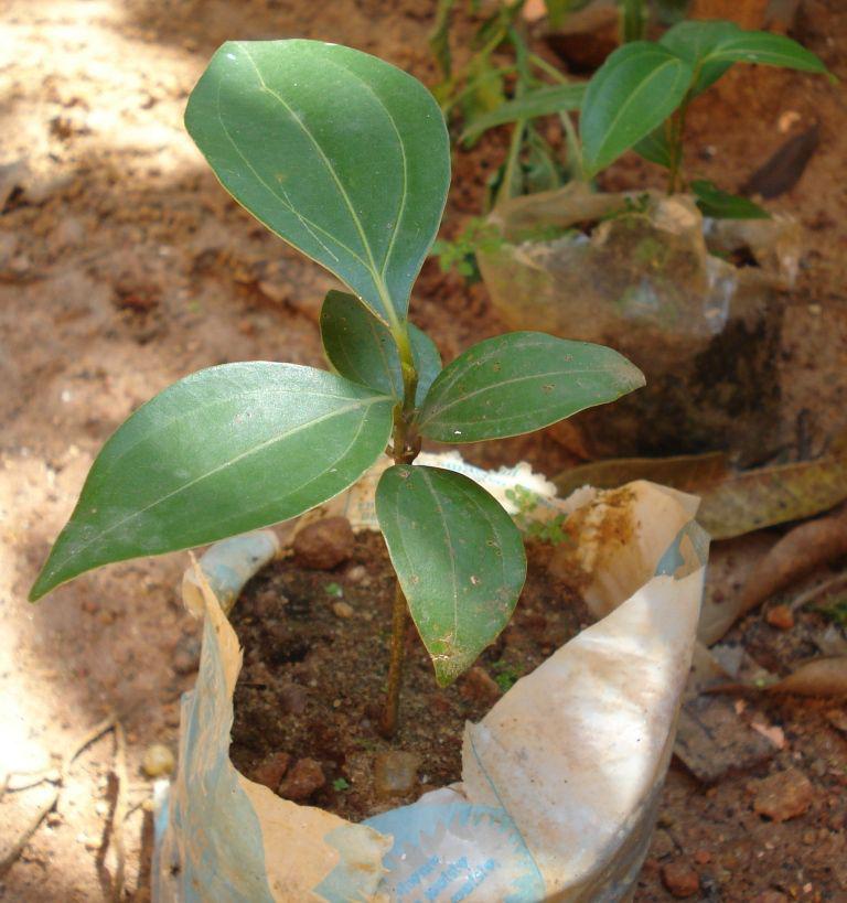 Cinnamon-plant