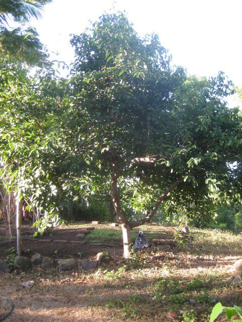 Cinnamon-tree