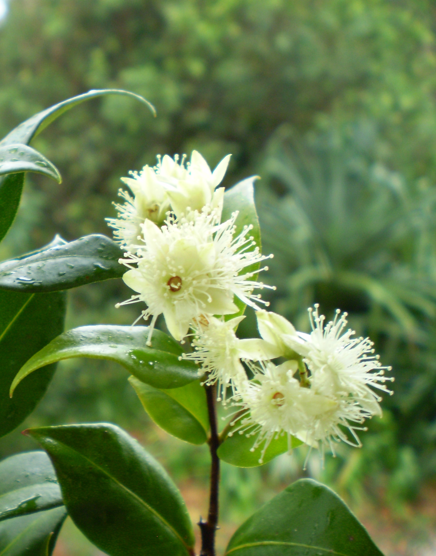 Close-up-flower-of-Cinnamon