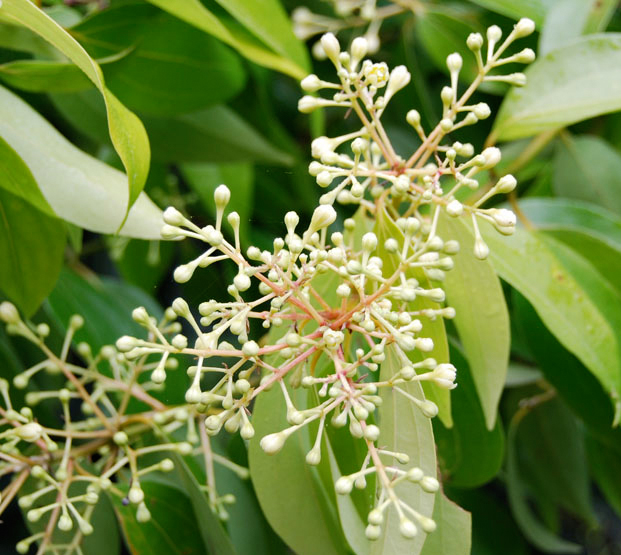 Flower-bud-of-Cinnamon