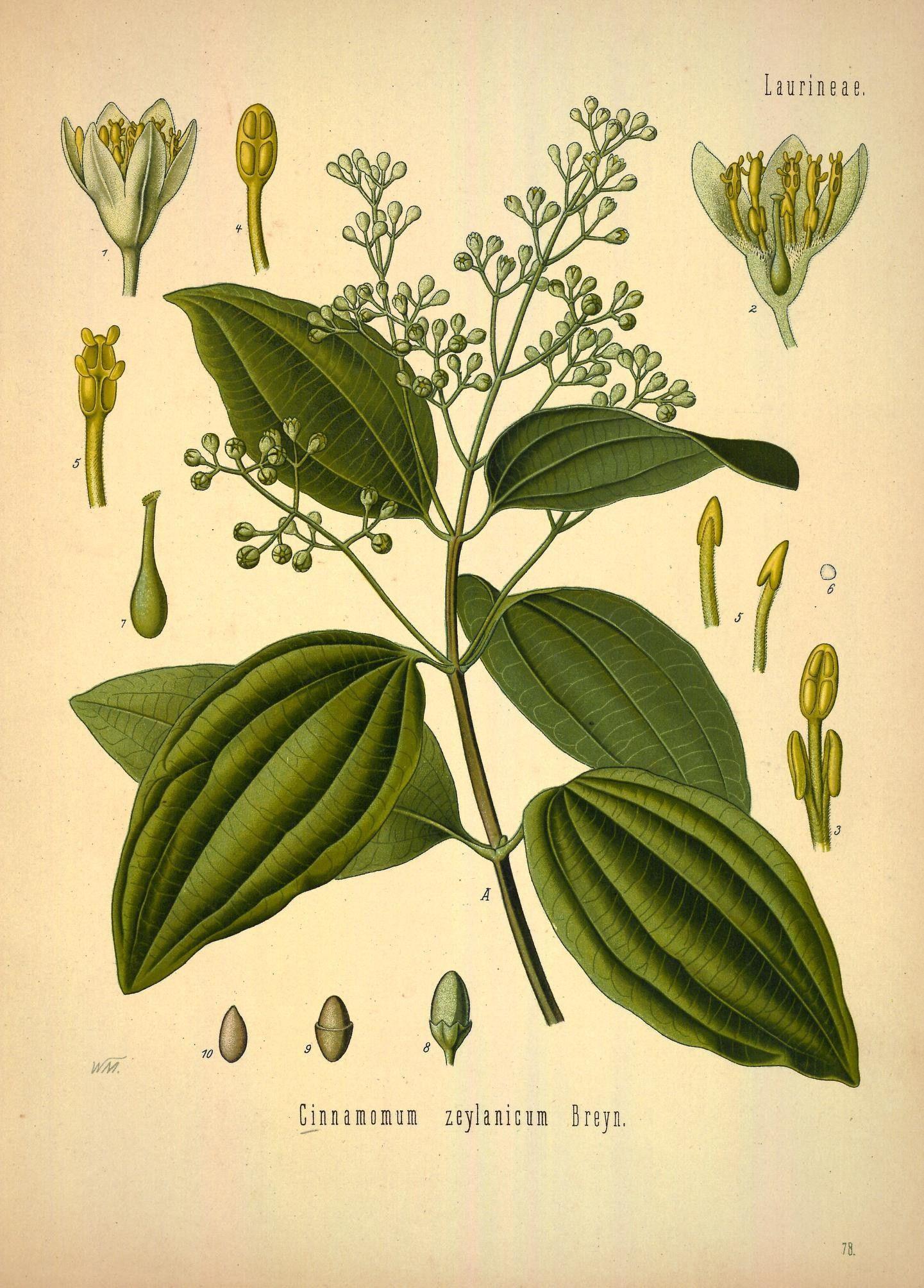 Plant-illustration-of-Cinnamon