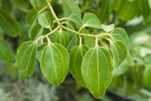 Leaves-of-Cinnamon