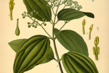 Plant-illustration-of-Cinnamon