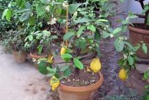 Citron-plant