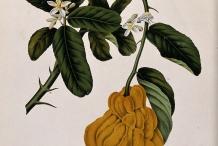Illustration-of-Citron