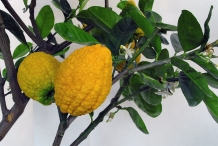 Citron-fruit