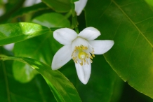 Close-up-flower-of-Citron