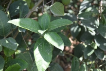 Leaves-of-Citron