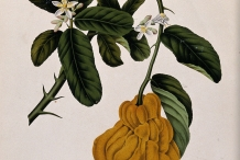 Plant-illustration-of-Citron