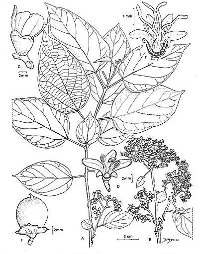 Sketch-of-Clammy-cherry