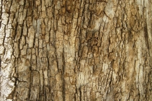 Bark-of-Clammy-cherry