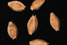 Seeds-of-Clammy-cherry