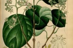 Plant-Illustration-of-Clammy-cherry