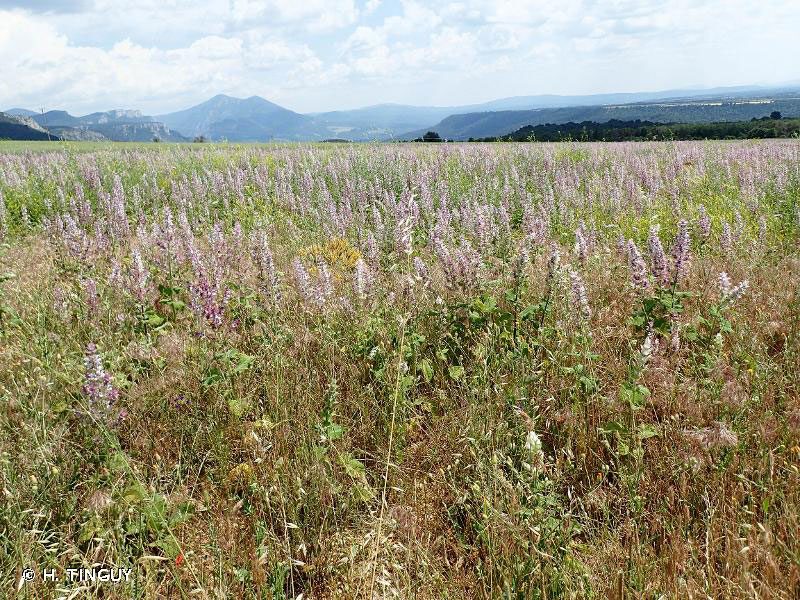 Clary-sage-Plant-growing-wild