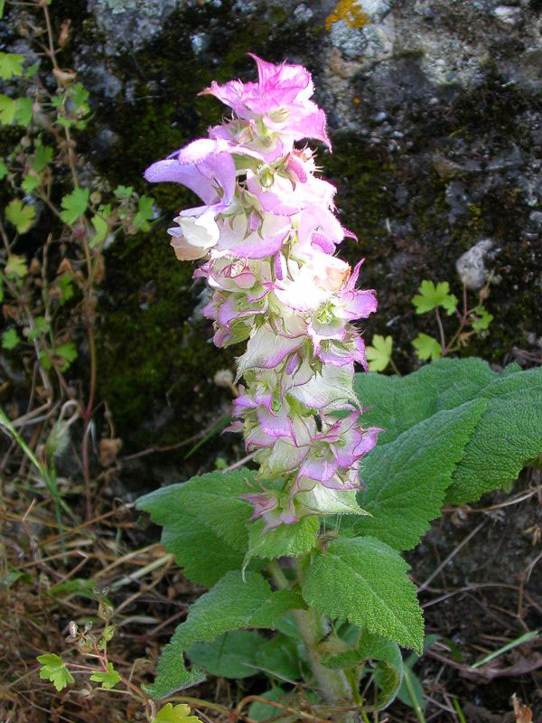 Flowers-of-Clary-sage