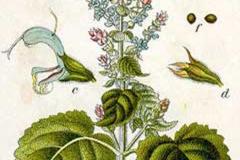 Plant-Illustration-of-Clary-sage