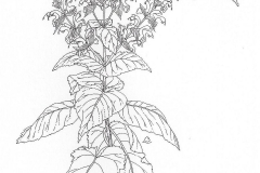 Sketch-of-Clary-sage