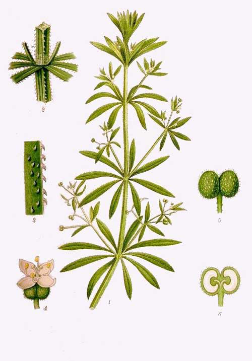 Plant-Illustration-of-Cleavers