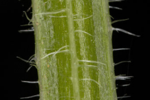 Closer-view-of-Cleavers-Stem