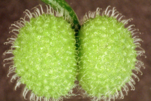 Unripe-Cleavers-fruit