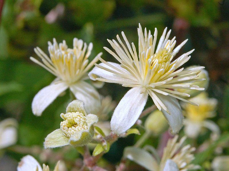 Closer-view-of-flower-of-Clematis-vitalba