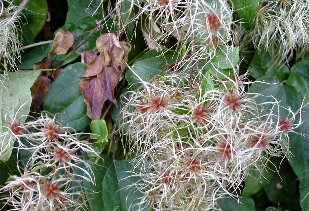 Fruits-of-Clematis-vitalba