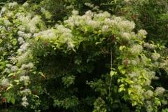 Clematis-vitalba-Plant-growing-wild