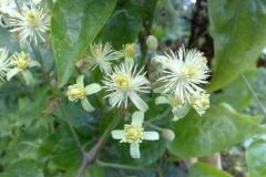 Flower-of-Clematis-vitalba