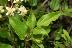 Leaves-of-Clematis-vitalba