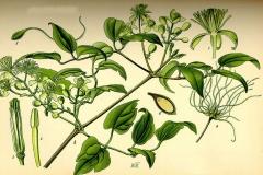 Plant-Illustration-of-Clematis-vitalba