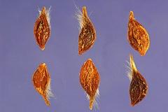 Seeds-of-Clematis-vitalba