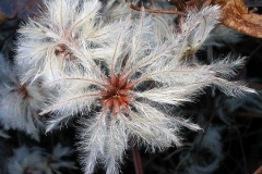 Silky-appendages-of-Clematis-vitalba-fruits