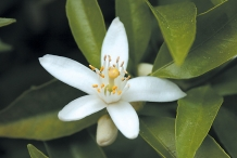 Close-up-flower-of-Clementine