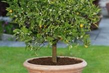 Clementine-tree