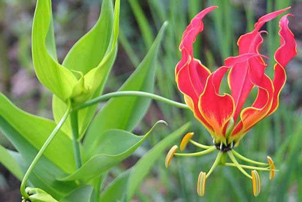Climbing-Lily--flower