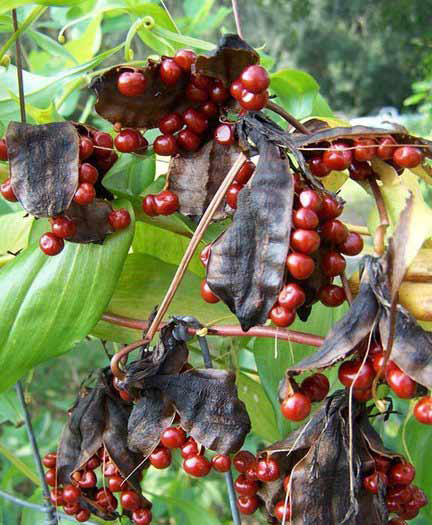 Mature-fruits-and-seeds-of-Climbing-lily