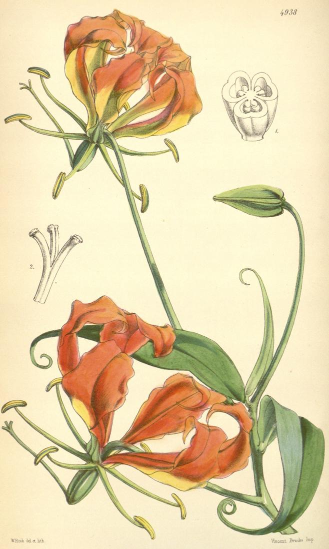 Plant-Illustration-of-Climbing-lily