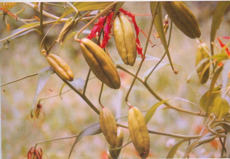 Ripe-fruits-of-Climbing-lily