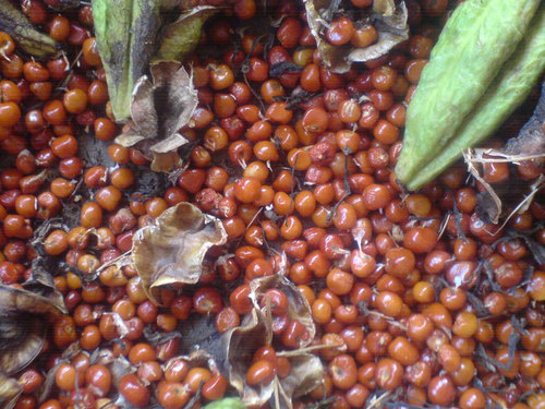 Seeds-of-Climbing-lily
