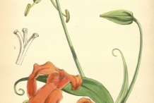 Plant-Illustration-of-Climbing-lily