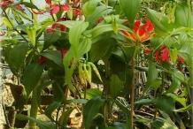 Climbing-lily-Plant